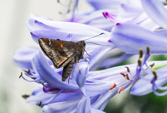 Butterfly on Water Hyacinth