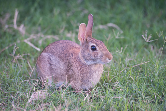 Cottontail Rabbit at Hall's Bayou