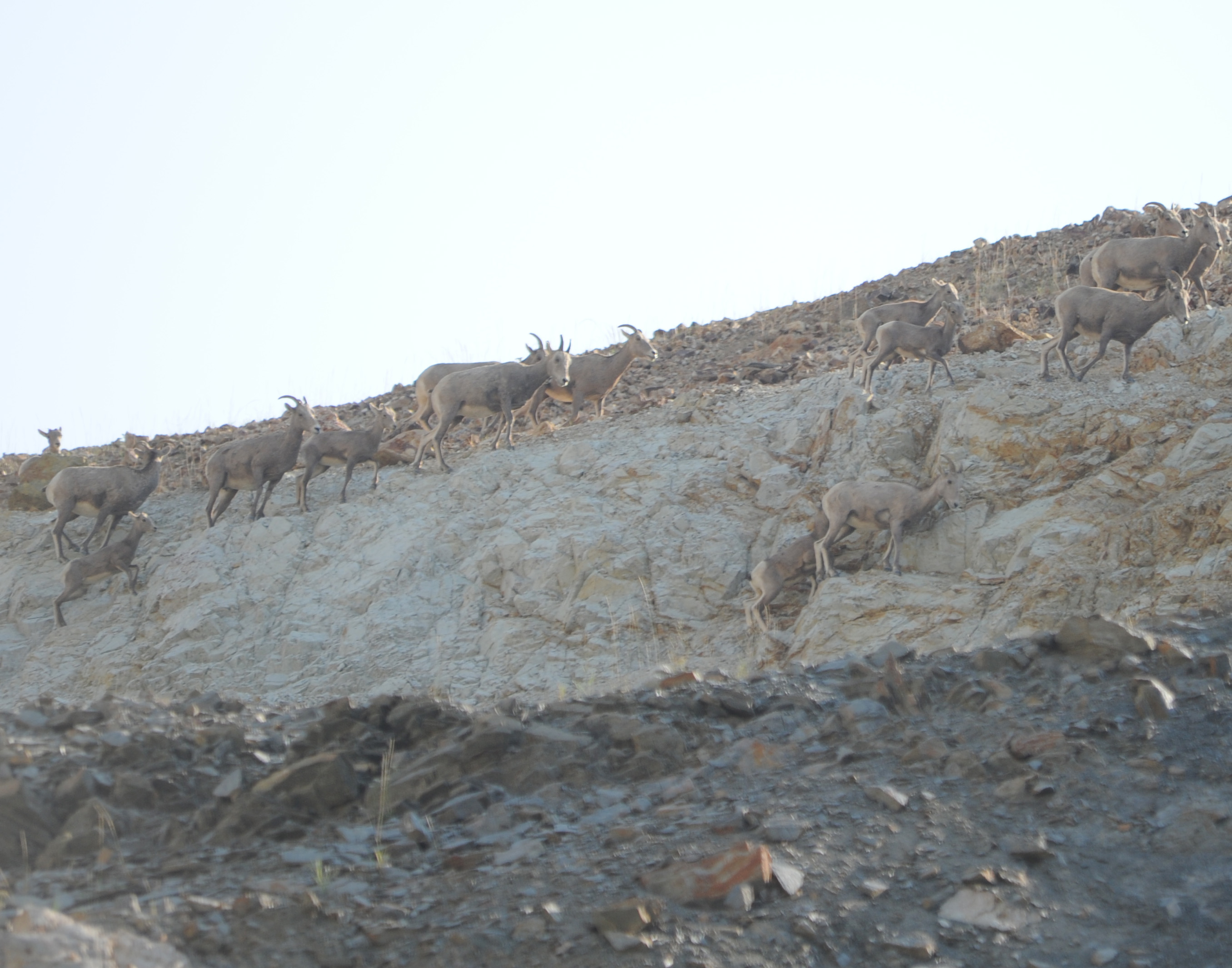 MT Bighorn sheep