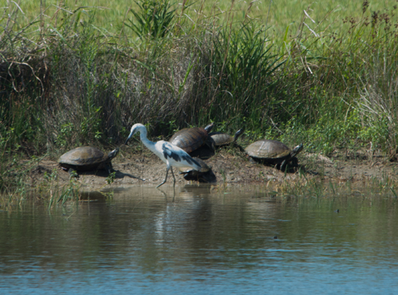 Little Blue Heron with red-eared sliders
