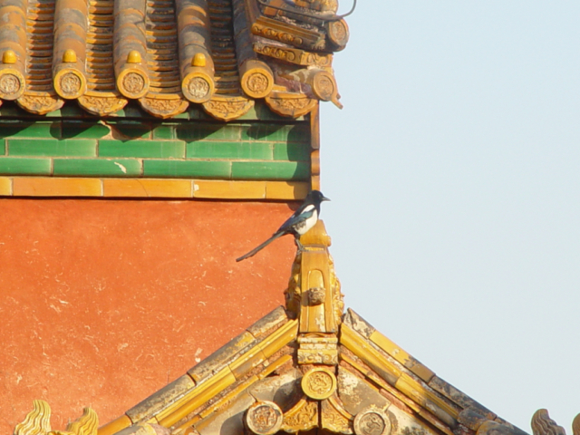 Magpie on rooftop in Forbidden City, Beijing China