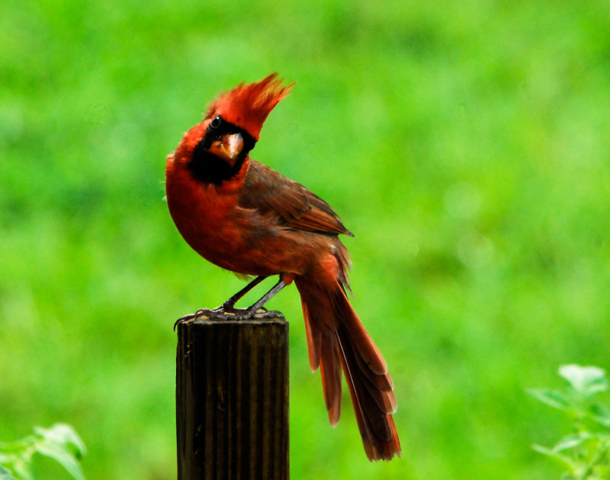 Young male cardinal on green background