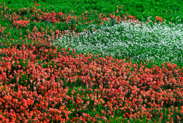 Field of red Texas Paintbrush in East Texas