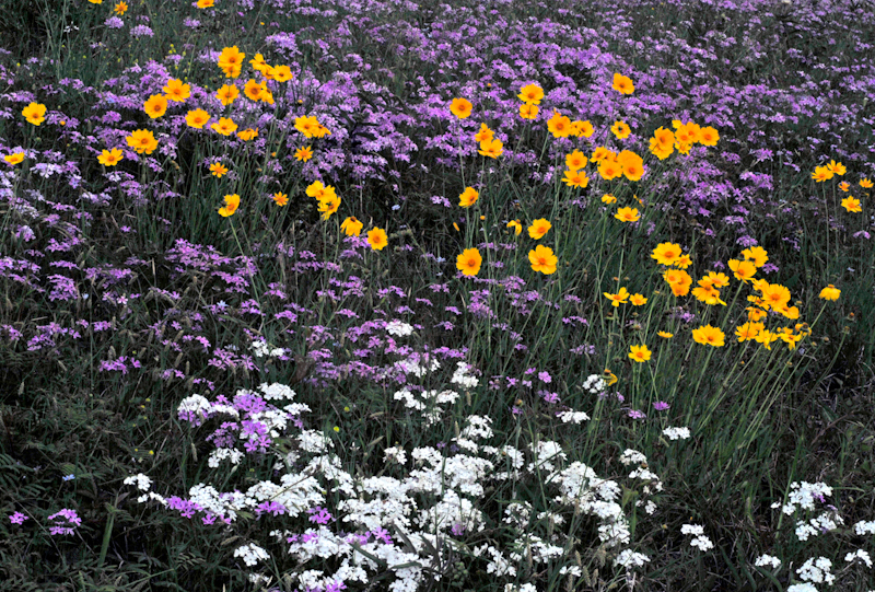 Phlox and Coreopsis wildflowers blooming in an East Texas field