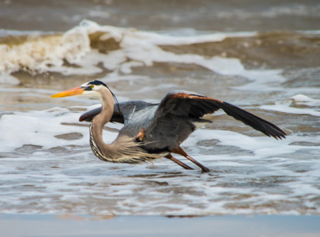Great Blue Heron ready for flight on the beach at Freeport, Texas