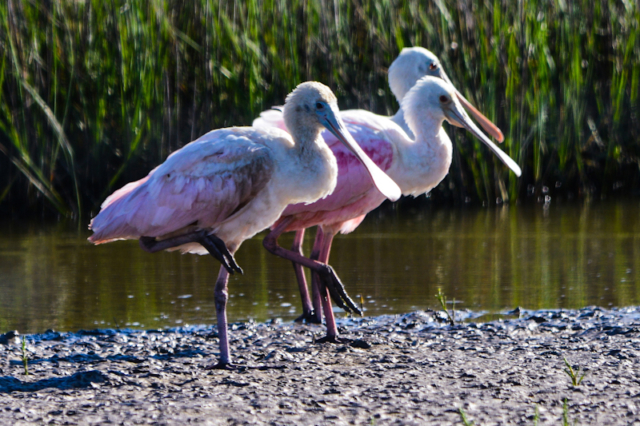 Roseate Spoonbills seem to be line dancing in Brazoria County, Texas