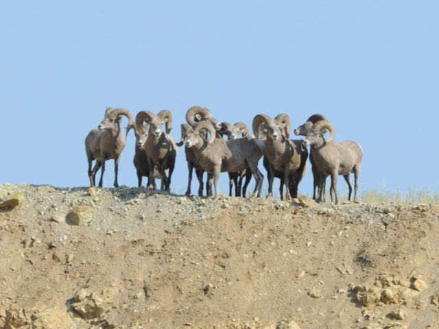 Bighorn sheep rams high desert Montana