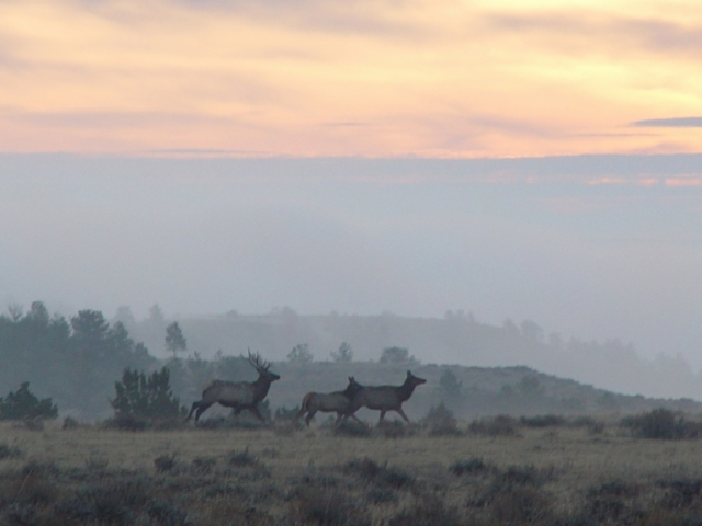 Bull elk with cow elk in early morning mist above the Missouri Breaks