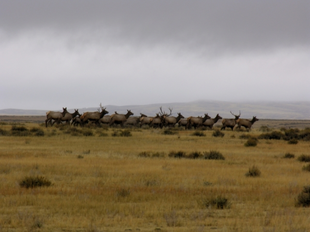 Large elk herd running across the high plains in Montana