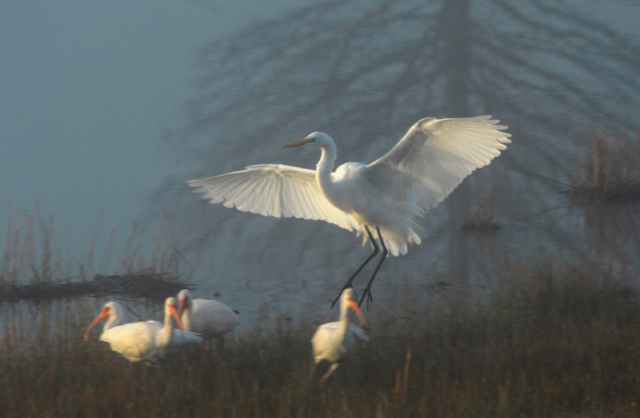 Great Egret and White Ibis in the fog in Brazoria County, Texas