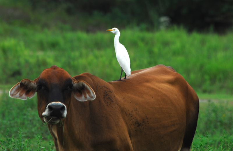 Cattle Egret on Red Cow in Brazoria County, Texas