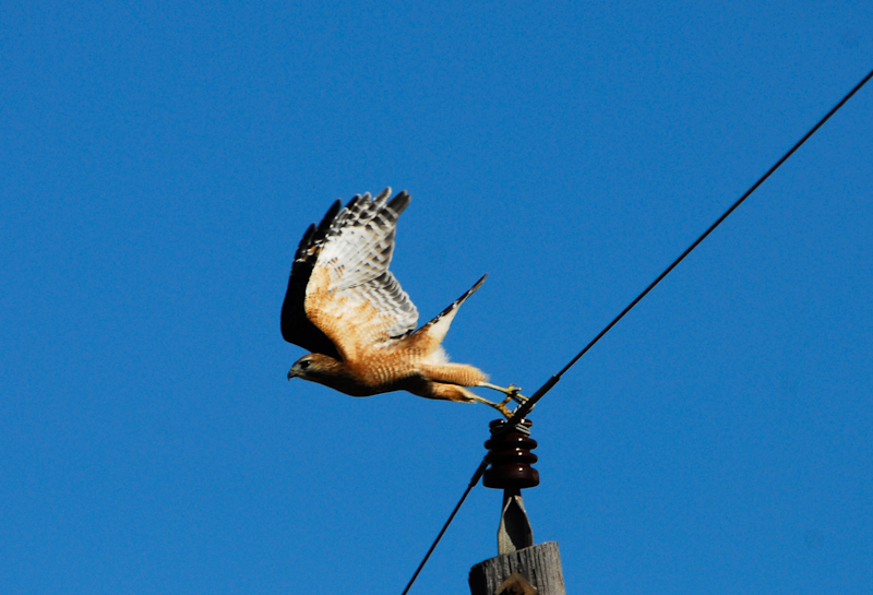 Red-shouldered Hawk launching into flight