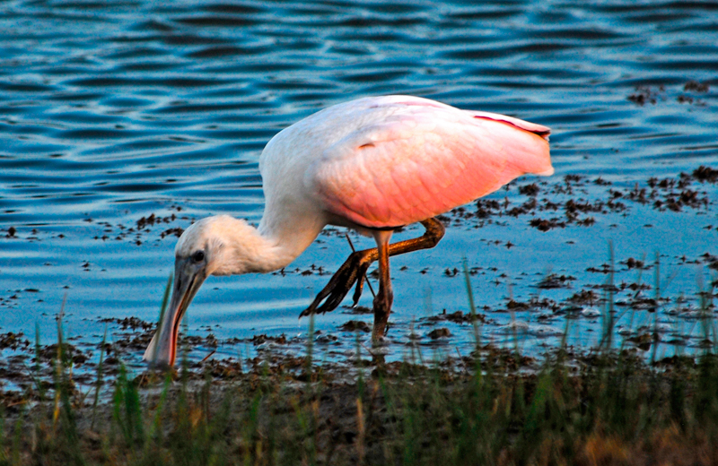 Roseate Spoonbill feeding at a pond in Brazoria County Texas
