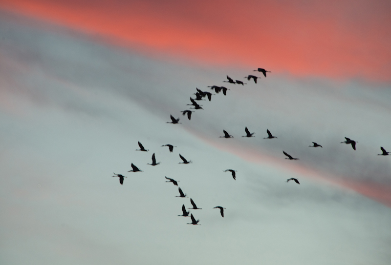Sandhill Cranes flying across the sunset in Brazoria County Texas