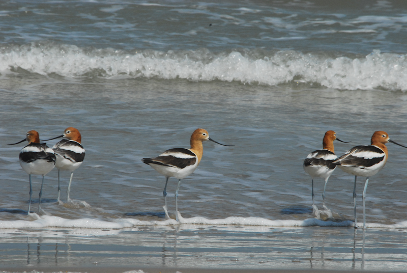 American Avocets on the beach at Freeport, Texas