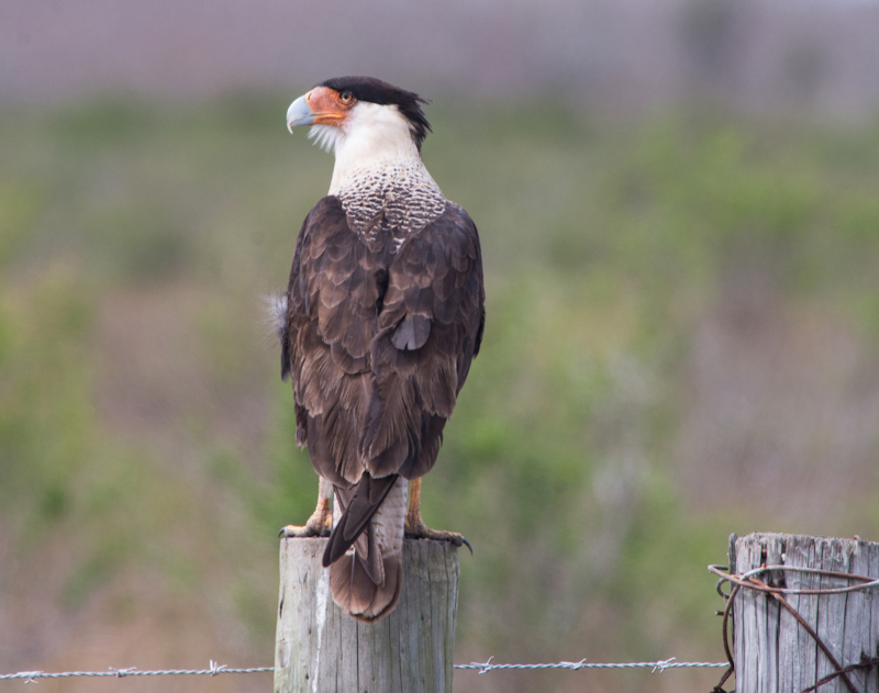 Crested Caracara on fencepost in Brazoria County, Texas