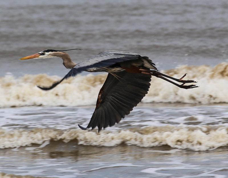 Great Blue Heron in low flight over the beach at Freeport Texas